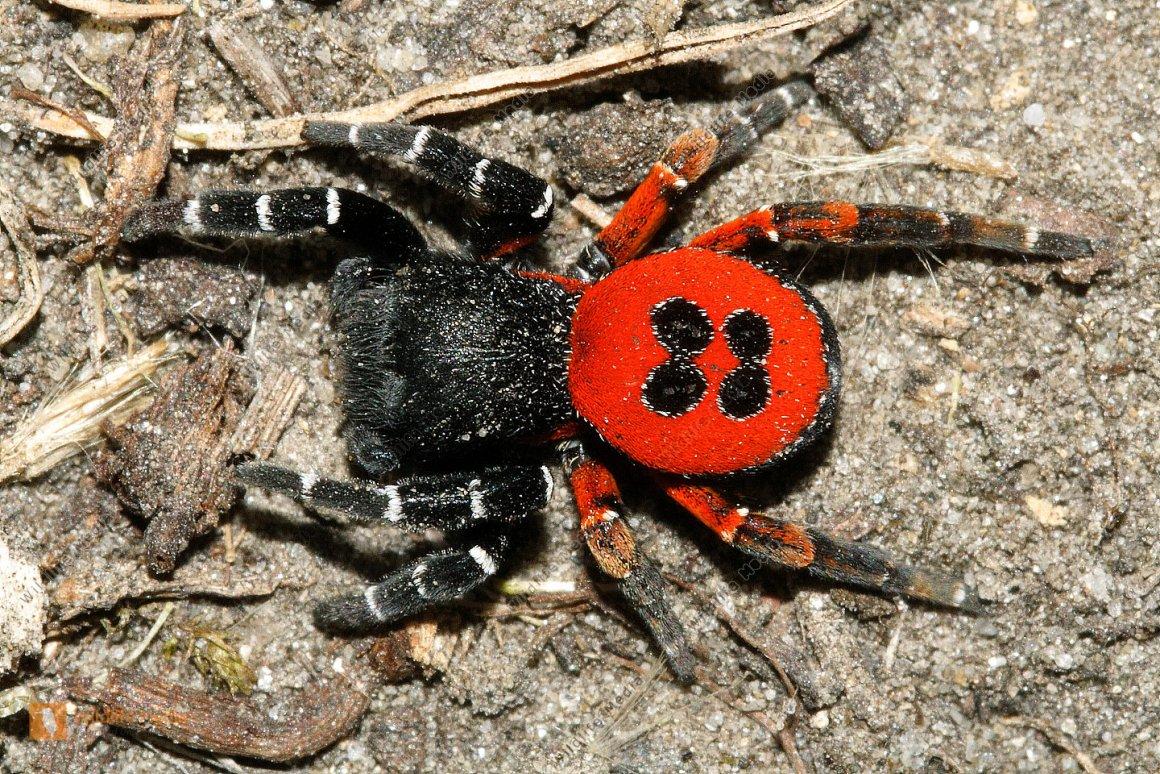 На Київщині знайдено найнебезпечнішого отруйного павука